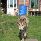 wolfsky4