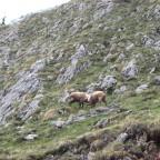 Steinböcke - franz. Alpen