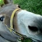 Allgäuer Esel